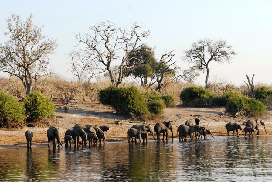 Elefantenherde am Ufer des Chobe