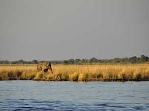 Elefant im Chobe Nationalpark