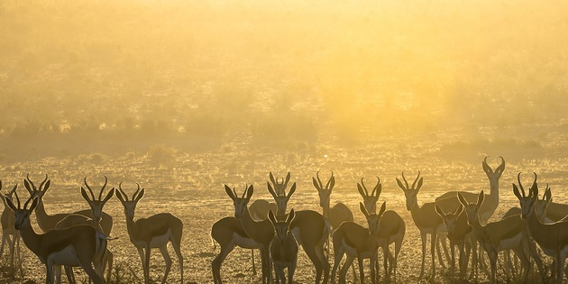 Springböcke in Botswana