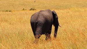 Elefant in Kenia auf Safari
