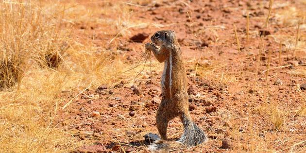 fressendes Erdmännchen in Namibia