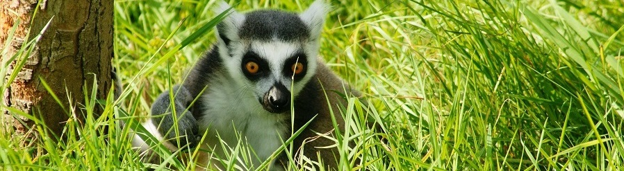 Lemur Madagskar
