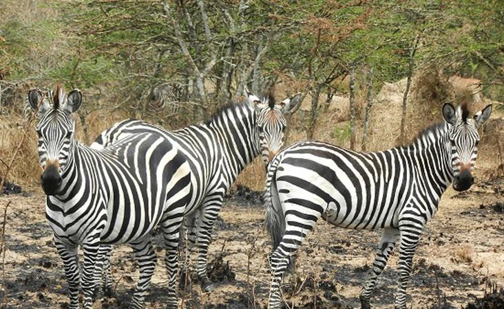 Zebras bei Safari in Afrika