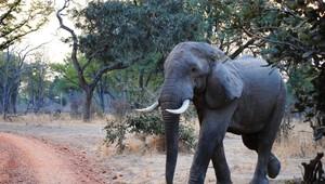 Safari Sichtung Elefant