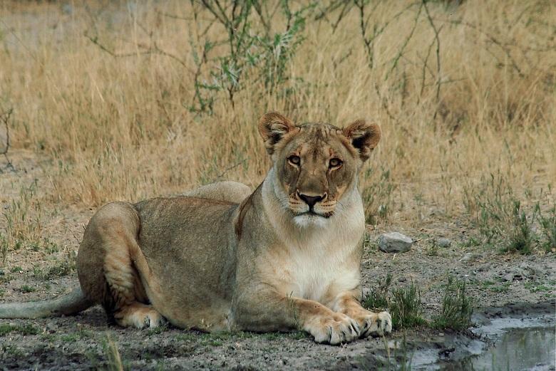 Löwin sitzend