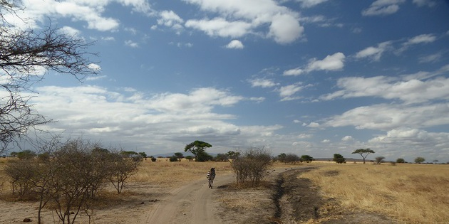 Zebra bei Safari