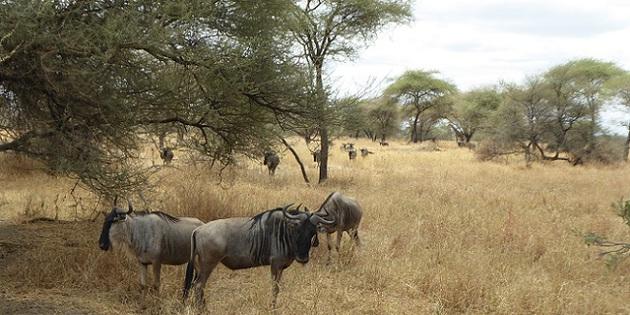 Afrika Gnu