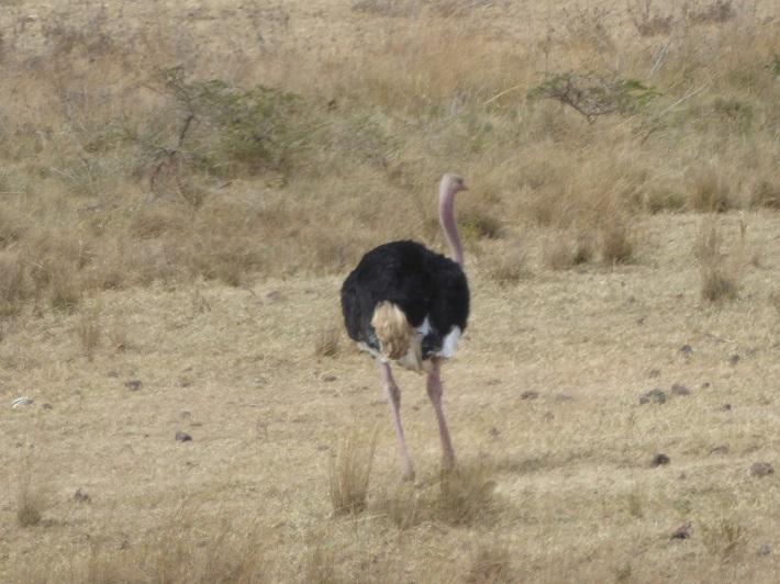 Vogelstrauss  im Etosha NP