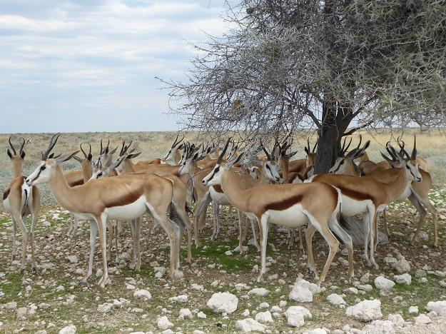 Antilopen im Etoshapark
