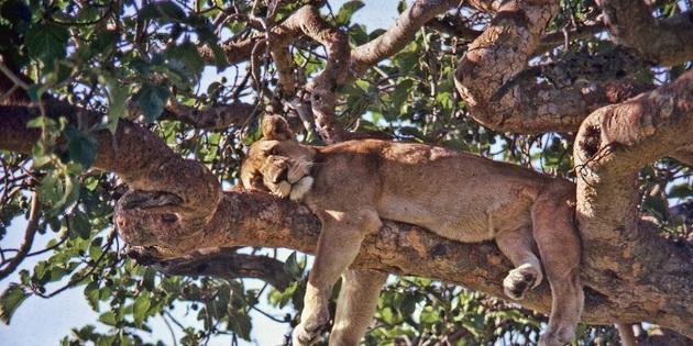 schlafende Löwin auf dem Baum
