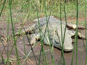 Krokodil in Äthiopien