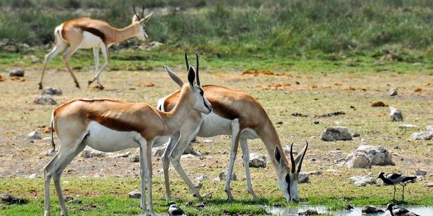 Gazellen im Etosha Nationalpark