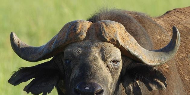 Wasserbüffel in Afrika
