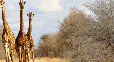 Safari mit Giraffen