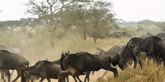 Büffelherde im Serengeti Nationalpark