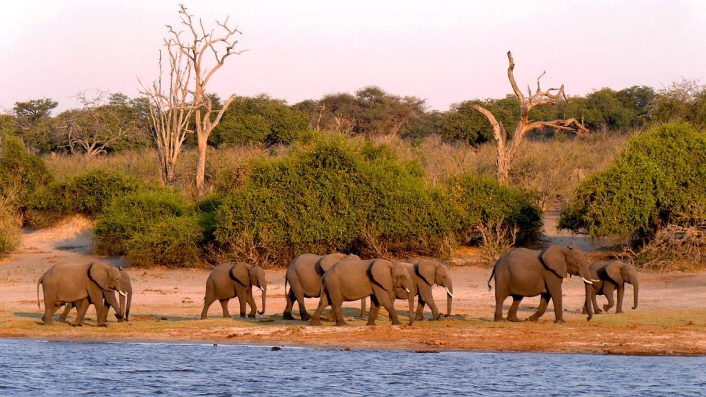 Elefantenherde am Ufer des Chobe Fluss