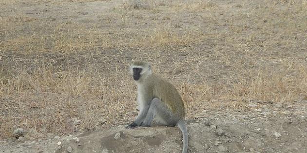 Safari Meerkatze Affe