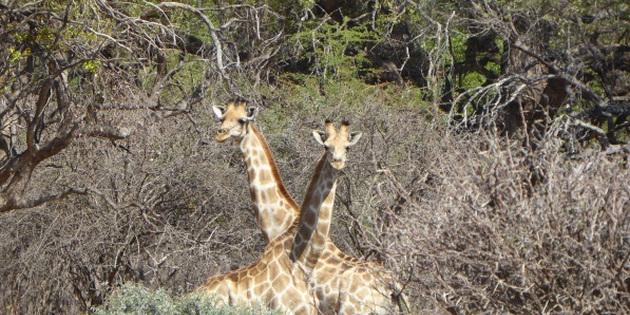 Girraffen im Etoshapark