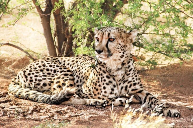 Gepard im Etosha Nationalpark