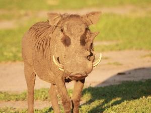 Warzenschwein in Malawi