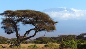 Köcherbaum vorm Kilimanjaro