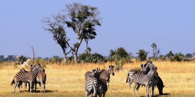 Zebraherde im Chobe Nationalpark