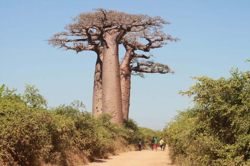 Baobab Bäume auf Madagskar