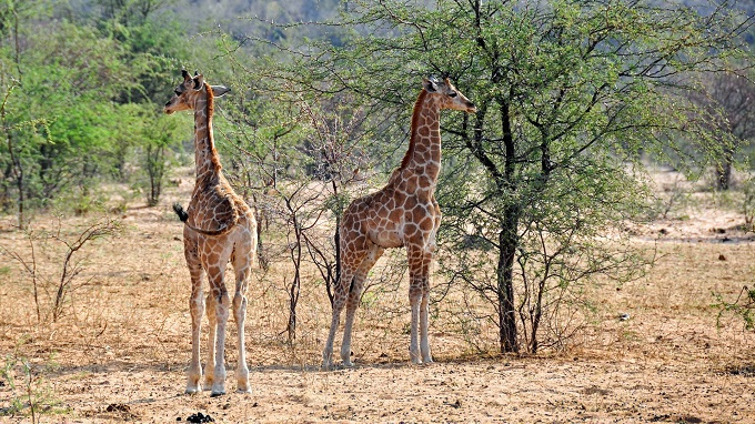 Giraffenpaar in Namibia