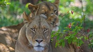 Löwen in Afrika Big five