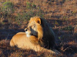 Löwe sonnt sich