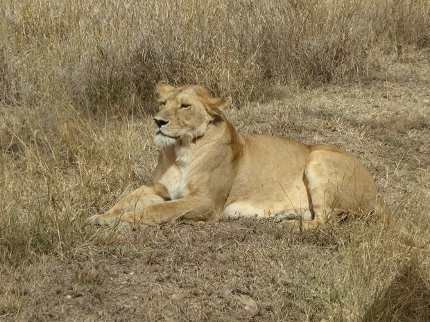 Löwin in Tansania