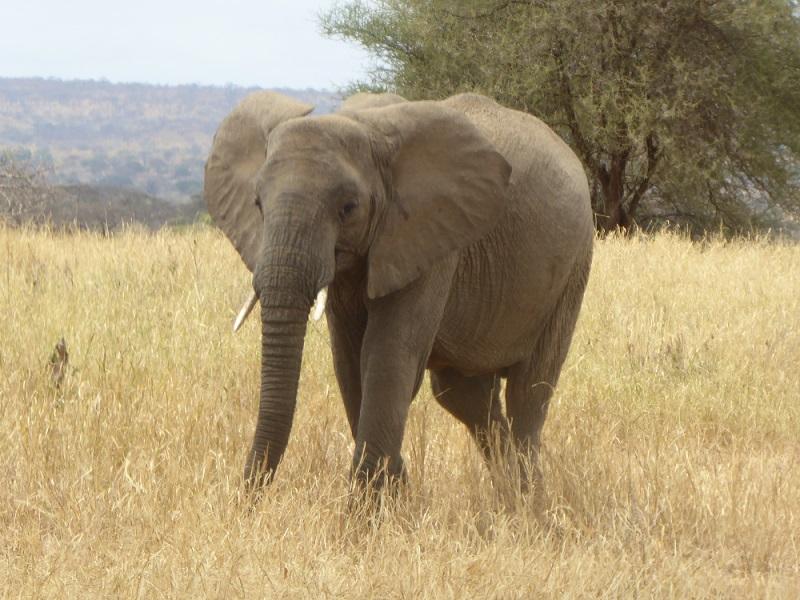 Elefant in Serengeti