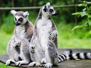 Lemurenpärchen auf Madagaskar