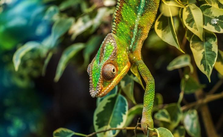 Chamäleon auf Madagaskar