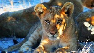 Löwenbaby mit Mama