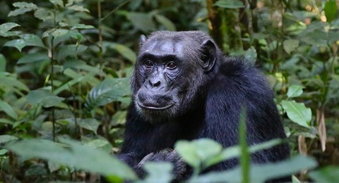 Uganda Dschungel mit Gorilla